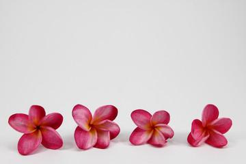Plumeria on white background