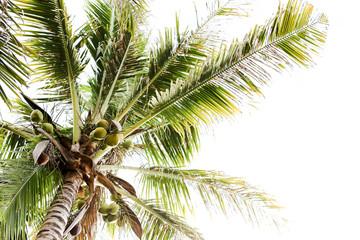 Coconut tree. Tropics. Fruits of coconut. Coconut tree on the sky background