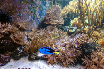 Regal blue tang, palette surgeonfish, or hippo tang, an Indo-Pacific surgeonfish of Paracanthurus hepatus species with bright blue coloring, oval body and yellow flag-shaped tails