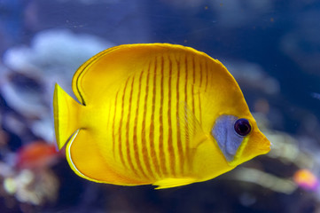 Blue-cheeked (Chaetodon semilarvatus), a species of butterflyfish of mostly yellow, with thin slate blue vertical lines on the sides and a slate blue cheek patch in lieu of the usual black eyestripe