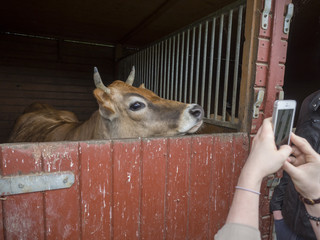 woman hand takeing picture of ginger cute young bull looking from the stall by her cellphone, selective focus