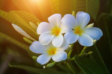Tuinposter Frangipani Beautiful white Plumeria