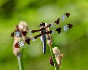 Dragonfly, Twelve-spotted skimmer, Libellula pulchella.