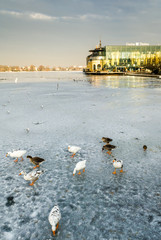 geese on a frozen lake