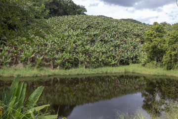 Banana plantation, lakeside