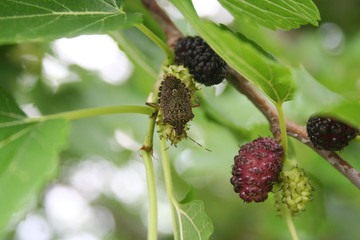 Marmorated stink bugs on a black mulberry fruit on tree. Halyomorpha halys
