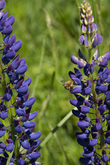 Bumblebee on a lupine - midday sun