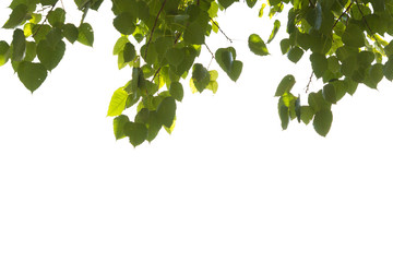 Bodhi tree [ leaf ] on isolated and white background clipping path.