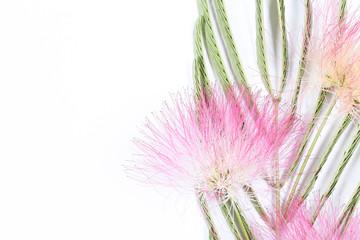 акация шёлковая розовый цветок на белом фоне