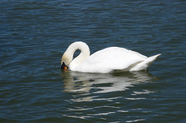 White Swan swimming in the lake.