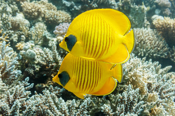 Pair of Masked butterflyfish on a coral reef of the red sea.