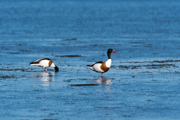 Shelduck couple searching for food