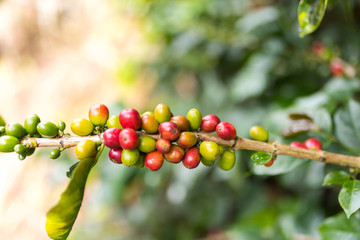 Closeup of a coffee plant on a coffee plantation in Jerico, Colombia in the state of Antioquia.