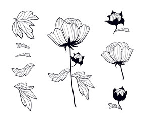 Paeonia. Blooming peony set of black contour drawings. Peony's parts