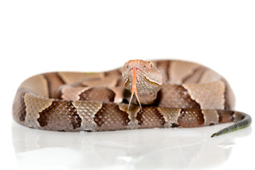 eastern Copperhead (Agkistrodon contortrix) close-up on white background