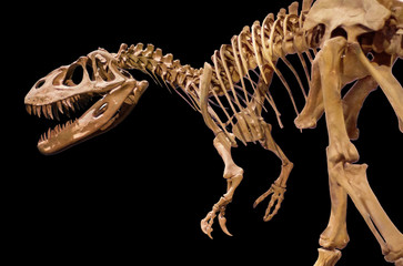 Dinosaur skeleton on black isolated background