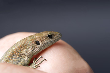 Vivacious lizard on a black isolated background.