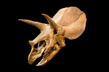 Dinosaur skeleton. Triceratops Fossil skull over white isolated background