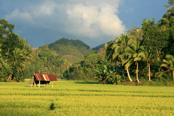 Picturesque Rice Field, Philippines