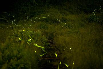 The fireflies(lightning bugs) in Japan