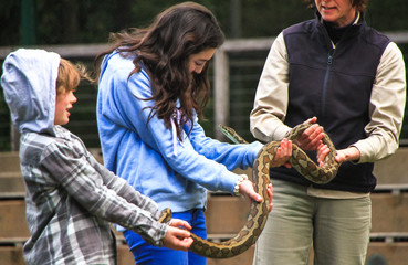 Two children hold a jungle carpet python (Morelia spilota cheynei) under the supervision of a professional handler in Victoria, Australia.