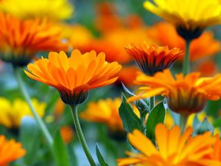 Viele Ringelblumen