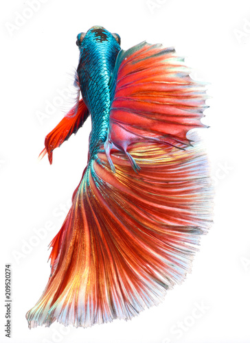 Fighting fish, colorful background, Halfmoon betta fish, Siamese ...