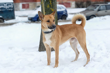 redhead dog crossbreed husky