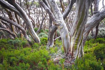Snow gum trees(Eucalyptus pauciflora) in Baw Baw National Park, Australia.