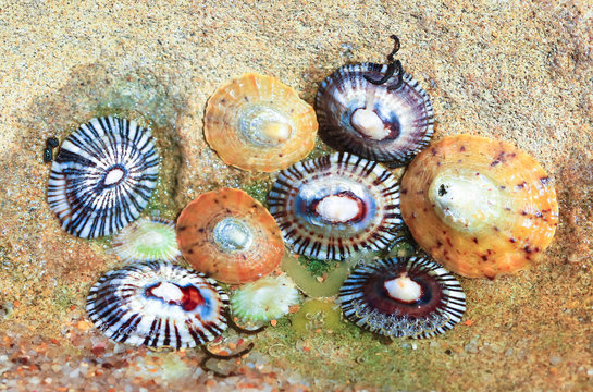 Colorful limpets in a tidepool at Barwon Heads, Australia.