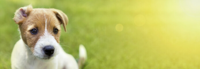 Web banner of a curious Jack Russell Terrier puppy dog with funny ears