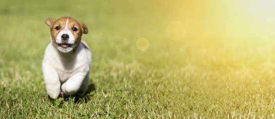 Web banner of a cute Jack Russell Terrier dog puppy as running to the camera