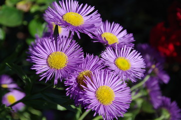 Fleurs violettes tournées vers le soleil