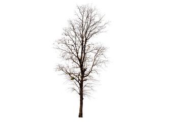 Deciduous tree isolated on white background.