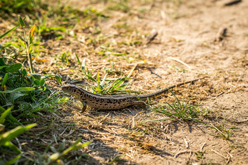 Lizard sitting on brown sand enjoying morning sun