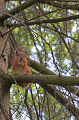 Red squirrel sits on a branch against a background of green trees. The front view.