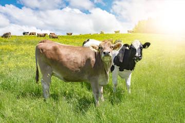 Fototapete - Zwei lustige Kühe auf der Weide, Werbung - Tourismus