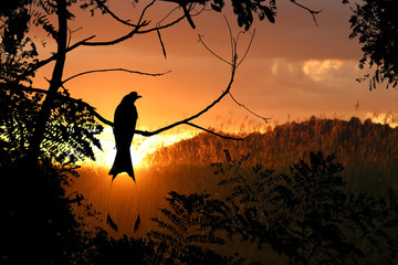 Silhouette of Greater Racket-tailed Drongo birds with red sky sunset background