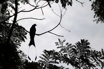 Silhouette of Greater Racket-tailed Drongo birds on a tree branches