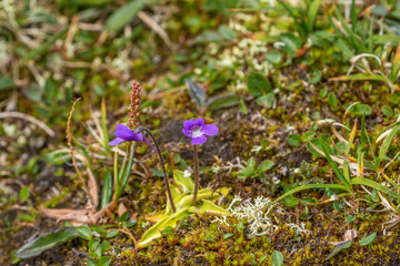 Purple Butterwort flowers in summer