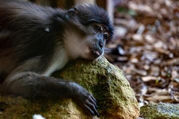sooty mangabey cercobecus torquatus monkey