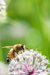 Honey bee on Great masterwort (Astrantia major) flower.