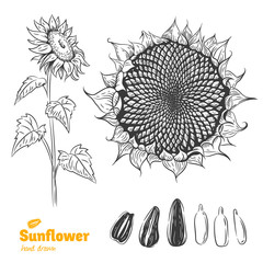Sunflower hand drawn illustration