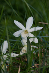 Daffodil Thalia (narcissus) plants