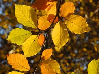 Buchenzweige im Herbst