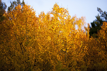 Yellow leaves on the tree, sunny autumn nature close up