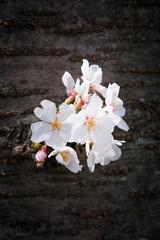 幹に咲く桜の花