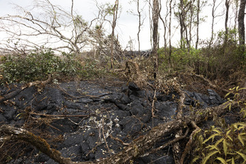 Lava flow in Hawaii, which has burned trees and shrubs