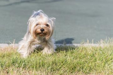 Yorkshire terrier puppy running outdoor