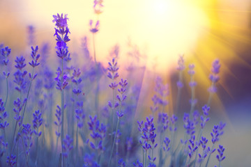 Fotoväggar - Lavender field, Blooming violet fragrant lavender flowers. Growing lavender swaying on wind over sunset sky, harvest, perfume ingredient, aromatherapy